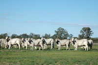 008 24-30 month old grey brahman steers suitable for the premium japanese export market