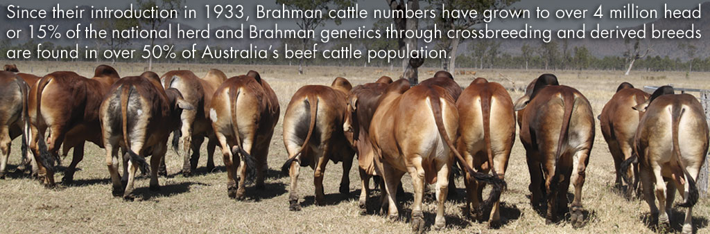 Australian Brahman Breeders Association Limited