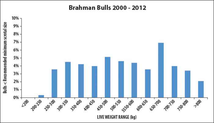Percentage of Brahman bulls with scrotal size below the minimum recommended