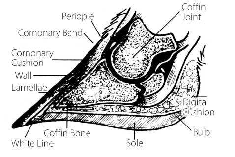 FIGURE 2: CROSS SECTION OF THE FOOT