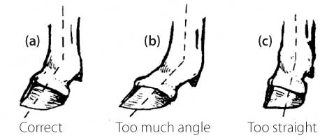 FIGURE 4: foot and pastern structure
